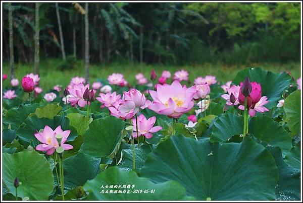 馬太鞍濕地荷花-2019-05-05.jpg
