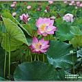馬太鞍濕地荷花-2019-05-08.jpg