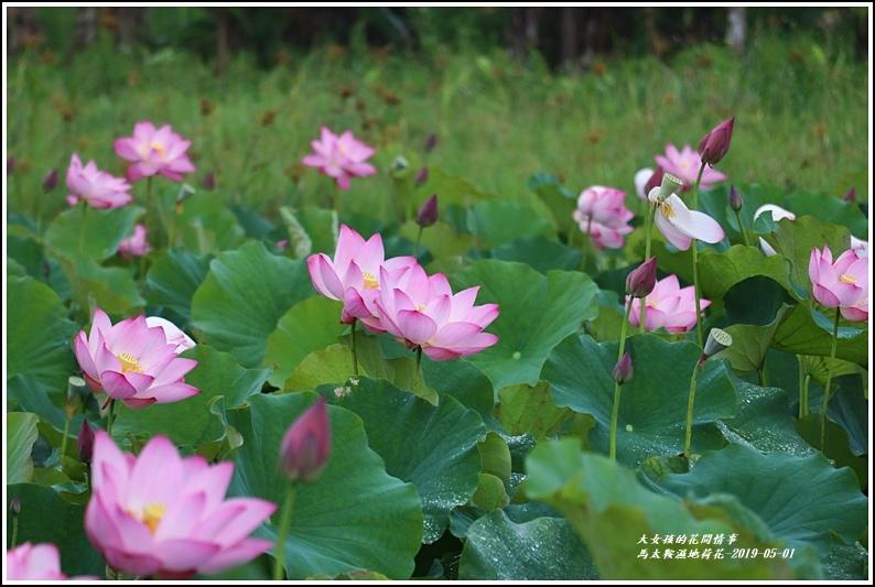 馬太鞍濕地荷花-2019-05-09.jpg