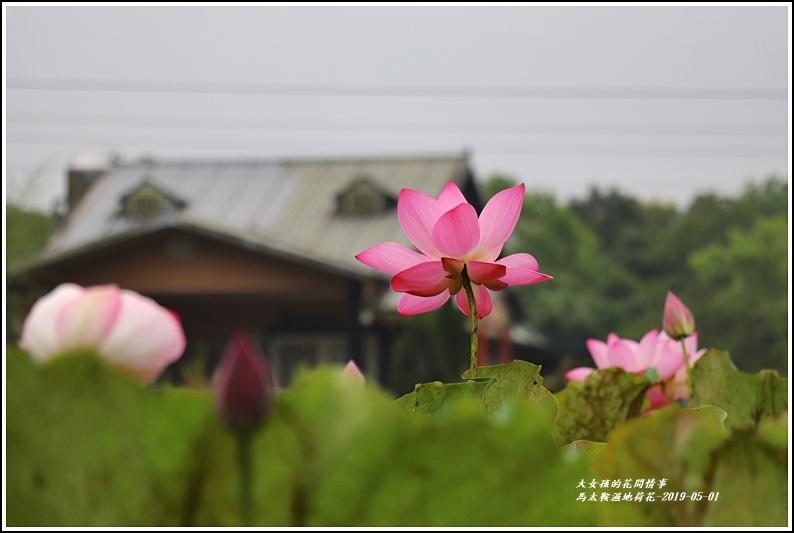 馬太鞍濕地荷花-2019-05-20.jpg