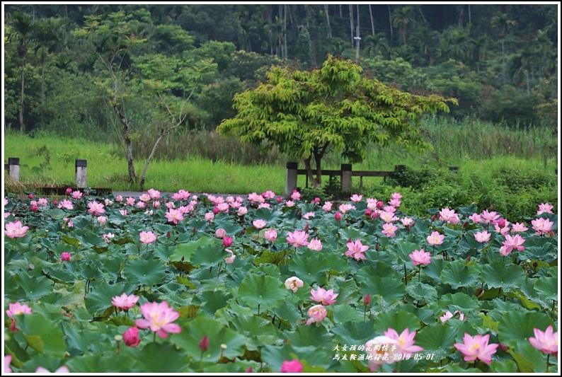 馬太鞍濕地荷花-2019-05-24.jpg