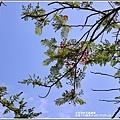 花蓮193鳳凰木-2019-05-11.jpg