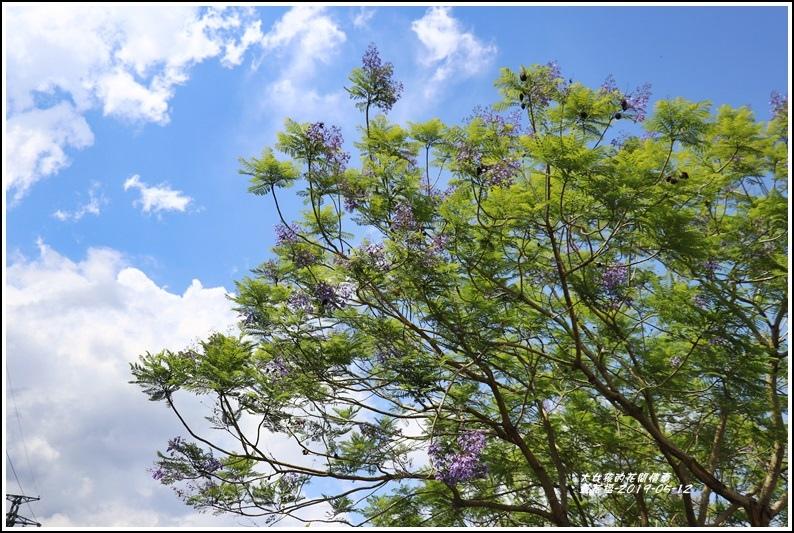 藍花楹-2019-05-01.jpg