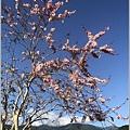 長橋秧苗場花旗木-2019-04-02.jpg
