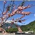 長橋秧苗場花旗木-2019-04-06.jpg