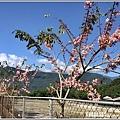 長橋秧苗場花旗木-2019-04-07.jpg