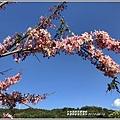 長橋秧苗場花旗木-2019-04-08.jpg