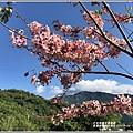 長橋秧苗場花旗木-2019-04-09.jpg