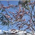長橋秧苗場花旗木-2019-04-12.jpg