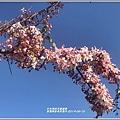 長橋秧苗場花旗木-2019-04-17.jpg