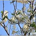 溫泉路上不知名的樹花-2019-04-01.jpg