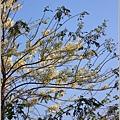 溫泉路上不知名的樹花-2019-04-06.jpg
