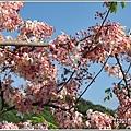 長橋花旗木-2019-04-32.jpg