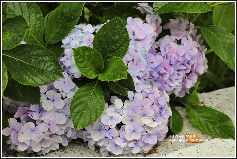 赤柯山繡球花-2019-06-02.jpg
