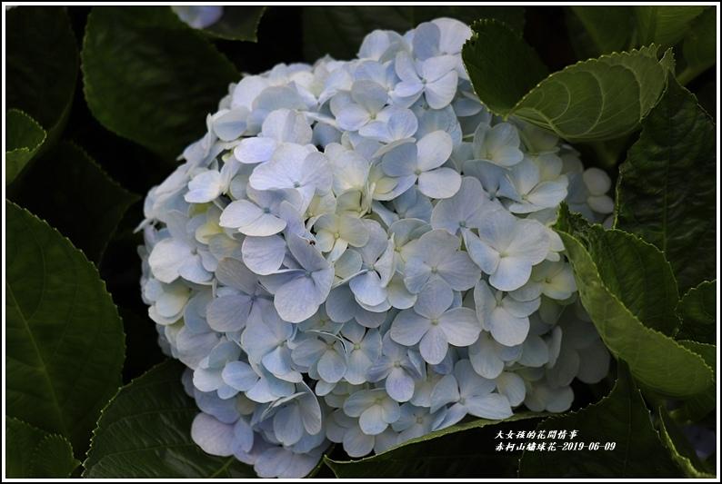 赤柯山繡球花-2019-06-03.jpg