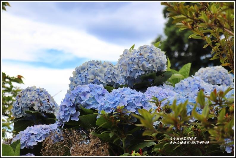 赤柯山繡球花-2019-06-09.jpg