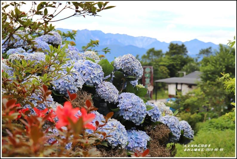赤柯山繡球花-2019-06-10.jpg