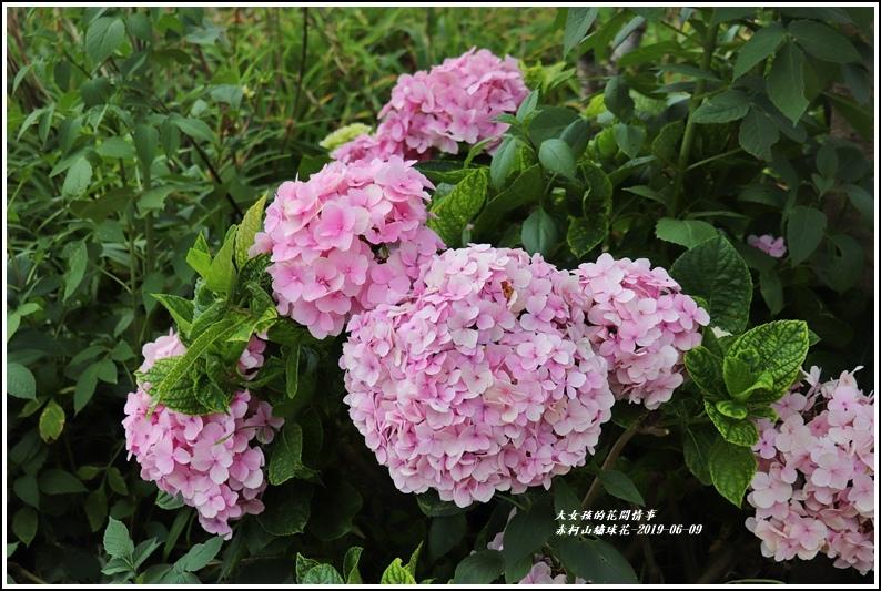 赤柯山繡球花-2019-06-13.jpg