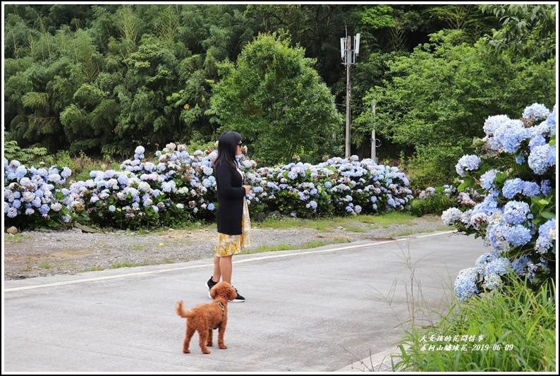 赤柯山繡球花-2019-06-18.jpg