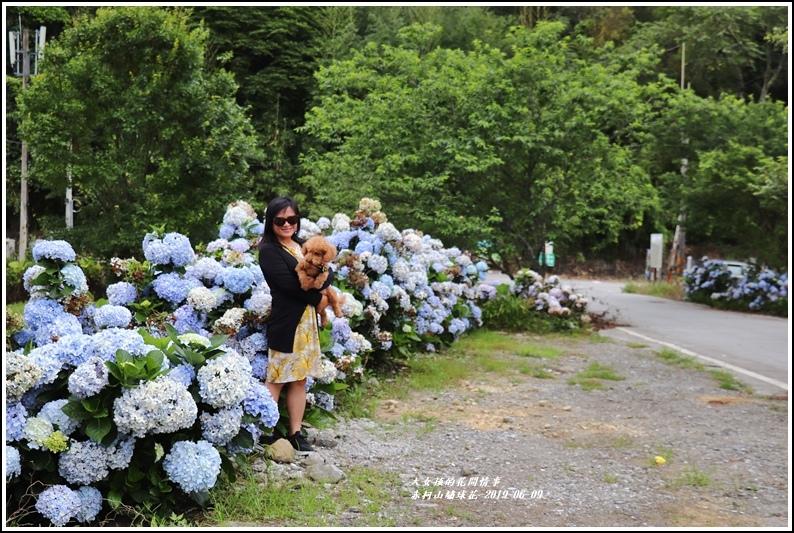 赤柯山繡球花-2019-06-23.jpg