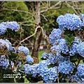 赤柯山繡球花-2019-06-37.jpg
