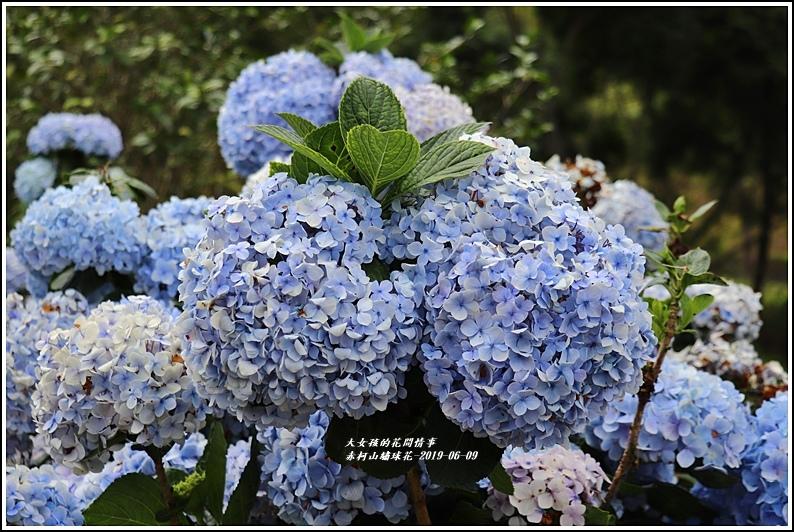 赤柯山繡球花-2019-06-41.jpg