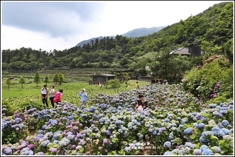 大賞園繡球花(竹子湖)-2019-05-12.jpg