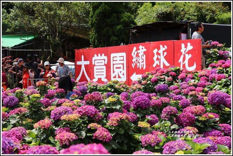 大賞園繡球花(竹子湖)-2019-05-29.jpg