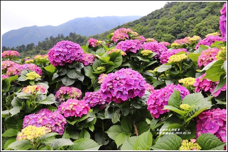 大賞園繡球花(竹子湖)-2019-05-34.jpg