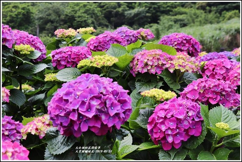 大賞園繡球花(竹子湖)-2019-05-35.jpg