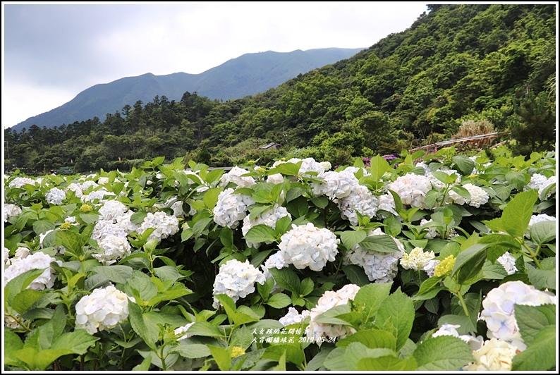 大賞園繡球花(竹子湖)-2019-05-38.jpg