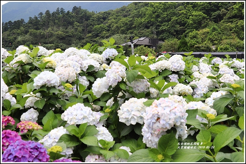 大賞園繡球花(竹子湖)-2019-05-44.jpg