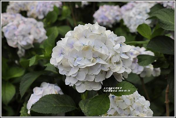 大賞園繡球花(竹子湖)-2019-05-47.jpg