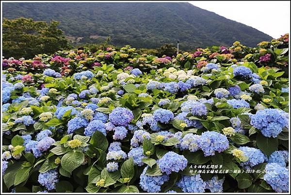 竹子湖高家繡球花(第二園區)-2019-05-27.jpg