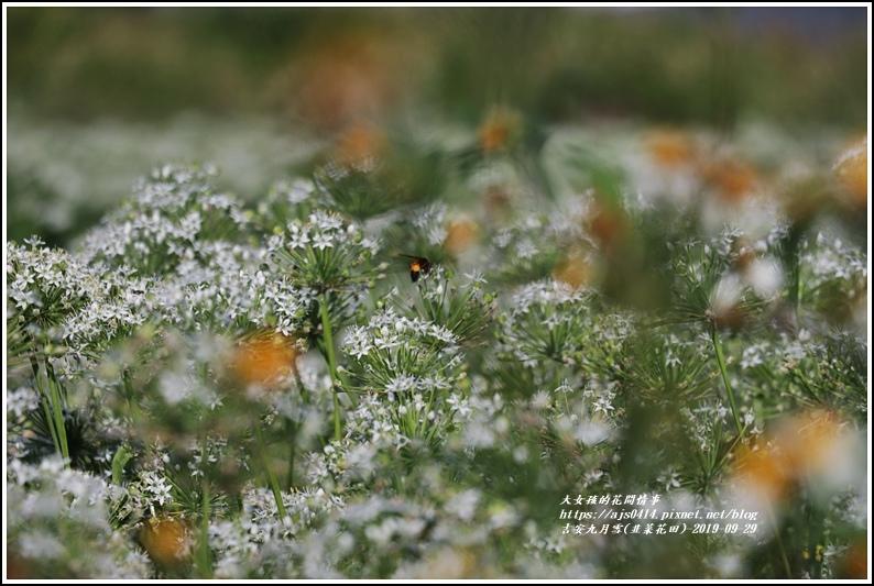 吉安九月雪(韭菜花田)-2019-09-08.jpg