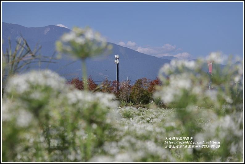 吉安九月雪(韭菜花田)-2019-09-29.jpg