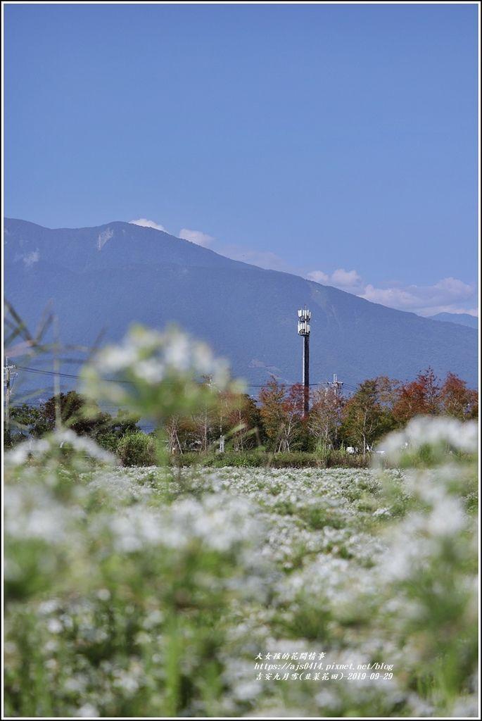 吉安九月雪(韭菜花田)-2019-09-31.jpg