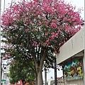 玉里鎮民廣場公園美人樹-2019-09-09.jpg