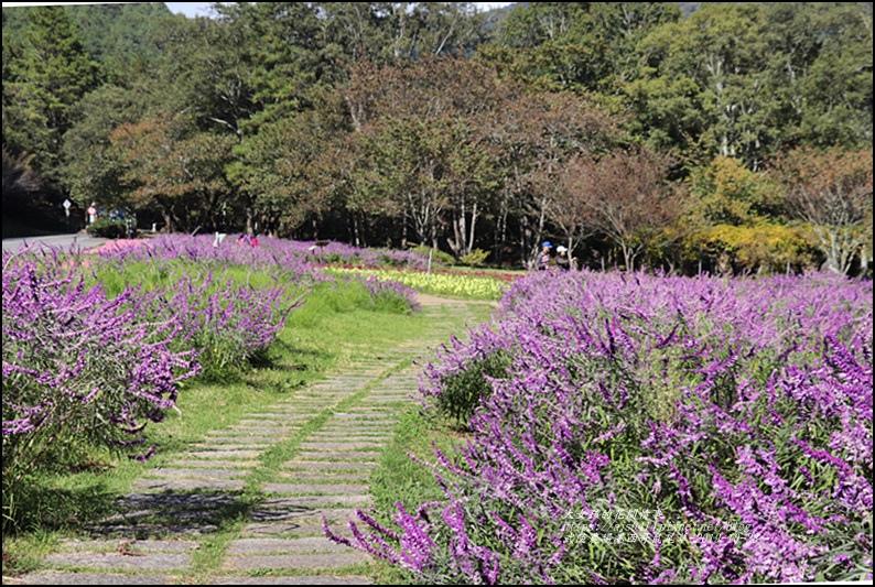 武陵農場墨西哥鼠尾草-2019-10-08.jpg