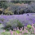武陵農場墨西哥鼠尾草-2019-10-32.jpg