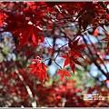 福壽山農場楓紅-2019-10-05.jpg