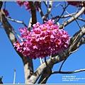 富興社區洋紅風鈴木-2019-11-06.jpg