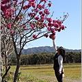 富興社區洋紅風鈴木-2019-11-08.jpg