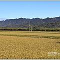 富興社區黃金稻-2019-11-11.jpg