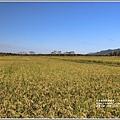 富興社區黃金稻-2019-11-15.jpg
