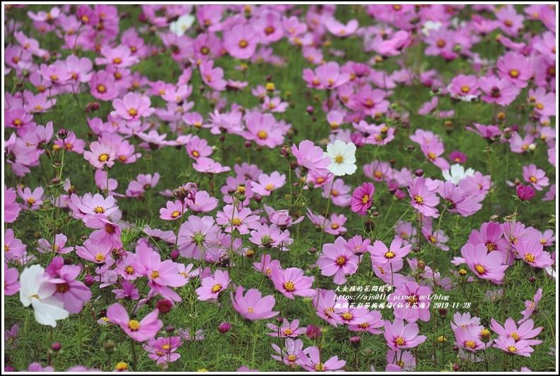 桃園花彩節梅楊場(仙草花海)-2019-11-81.jpg