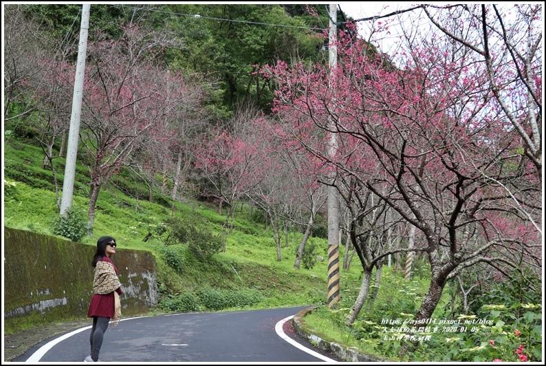 玉山神學院櫻花-2020-01-06.jpg