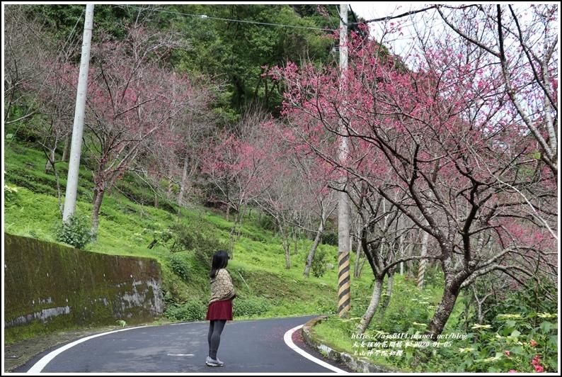 玉山神學院櫻花-2020-01-05.jpg