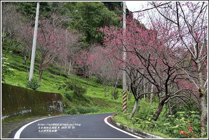 玉山神學院櫻花-2020-01-04.jpg