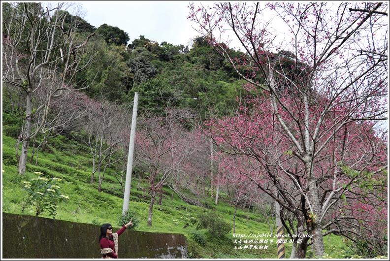 玉山神學院櫻花-2020-01-08.jpg